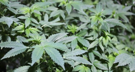 Cannabisanbau in München?