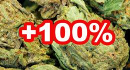 Der THC Gehalt im Gras hat sich in den letzten 10 Jahren verdoppelt